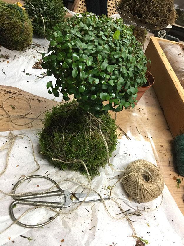 הקוקדמה הראשונה שלי עם צמח רב שנתי בצורת עץ ננסי