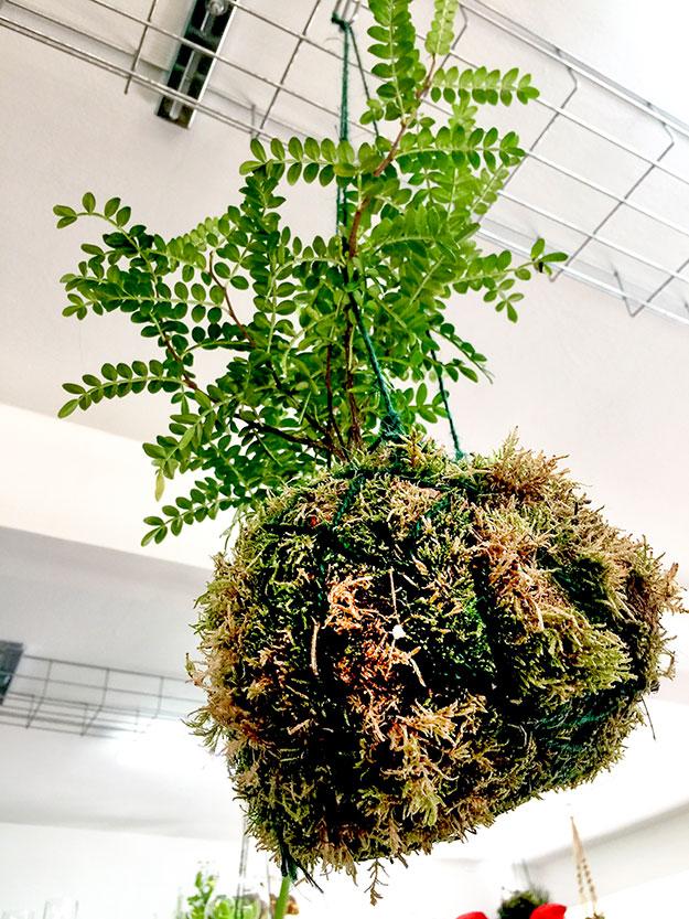 צמח רב שנתי בתוך כדור של אזוב תלוי מהתקרה