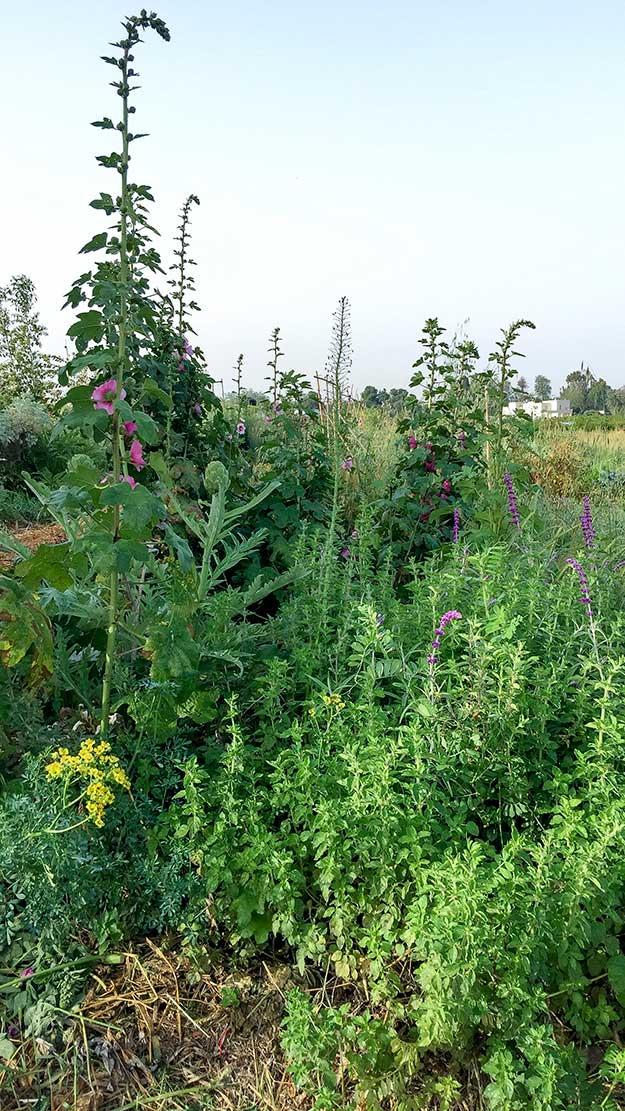 הגינה נראית פראית, אבל יש הגיון באיזה צמח שותלים ליד צמח אחר