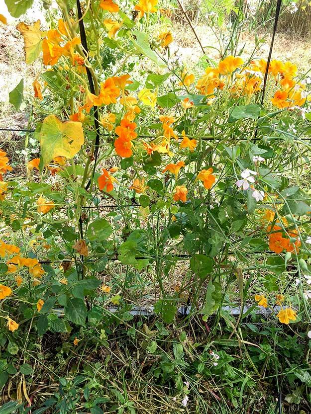 פרחי כובע הנזיר יוצרים רשת כתומה סבוכה