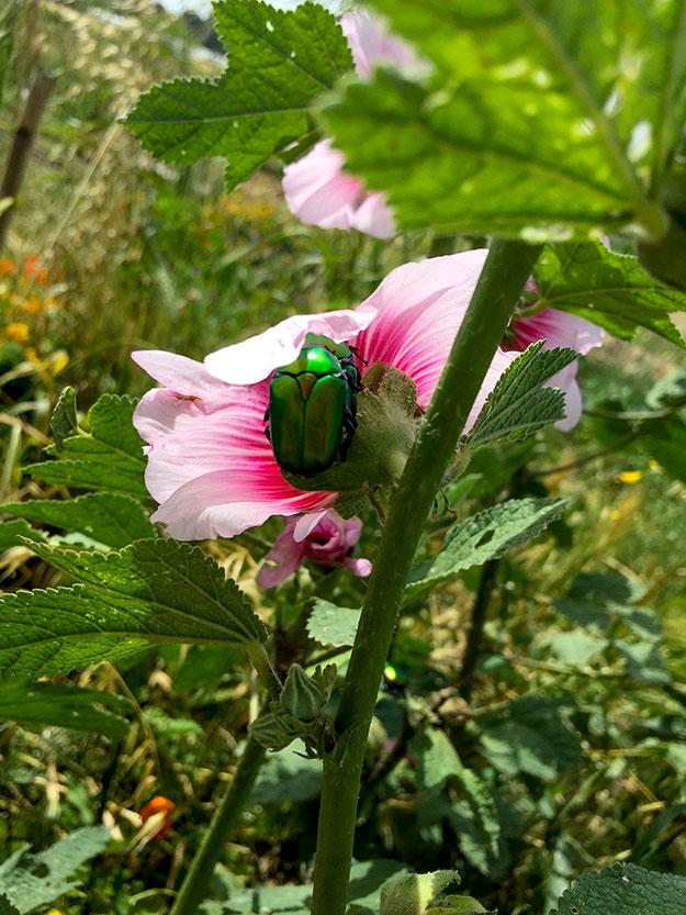 אל תקראו לה חיפושית זבל, זו חיפושית קליאופטרה משוויצה בצבעה הירוק מטאלי כמו תכשיט