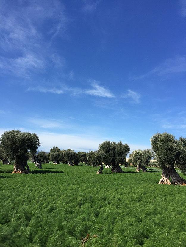 מטעים של עצי זית עתיקים בפוליה