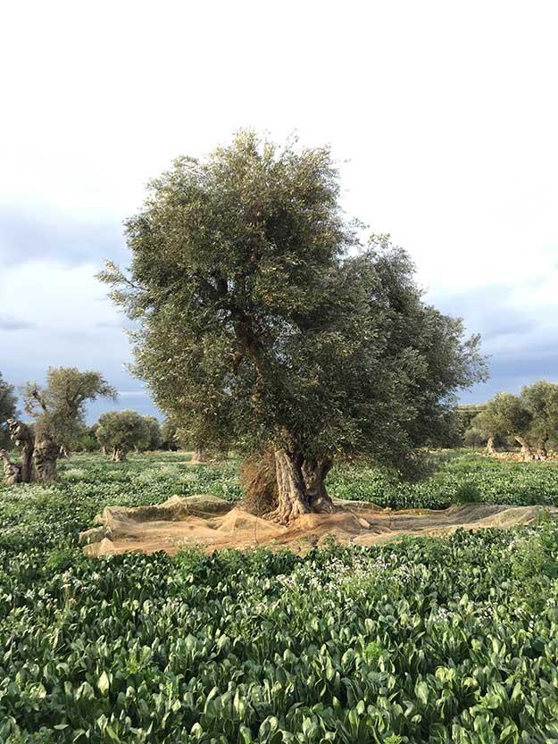 פוליה היא המחוז הכי עשיר בזכות עצי הזית העתיקים שלה