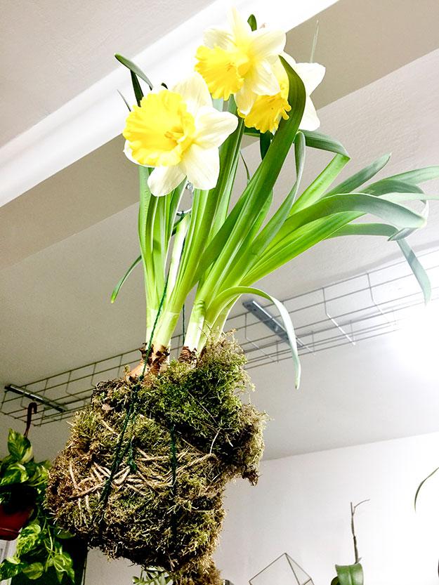 נרקיס חצוצרה מפואר בתןך קוקדמה, KOKEDAMA אמנות יפנית לגידול צמחים תלויים, בתוך כדור של אזוב