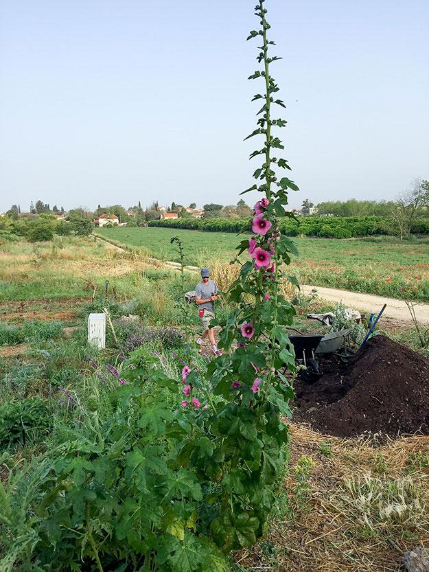 חוטמית זקופה גאה בפריחה ורודה